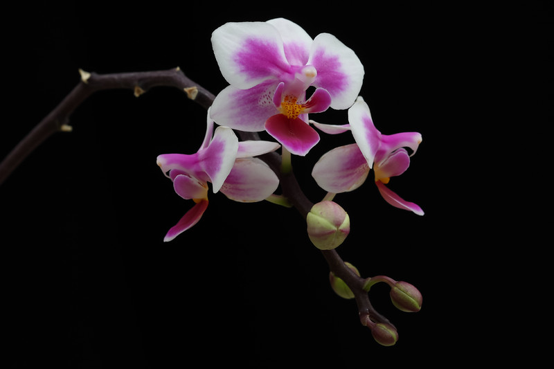 Phalaenopsis Be Tris Newberry0018
