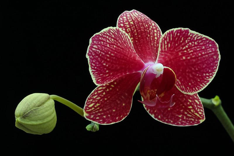 Phalaenopsis Red