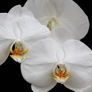 Phalaenopsis Taisuco Kochdian_0061