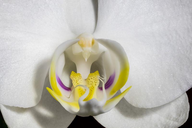 Orchid Phalaenopsis Hybrid-