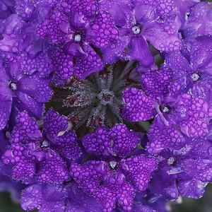 Homestead Purple