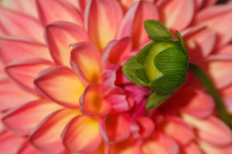 The Nurutring Nature of Dahlias
