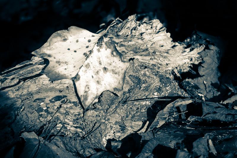Fallen Leaf in Pool of Light
