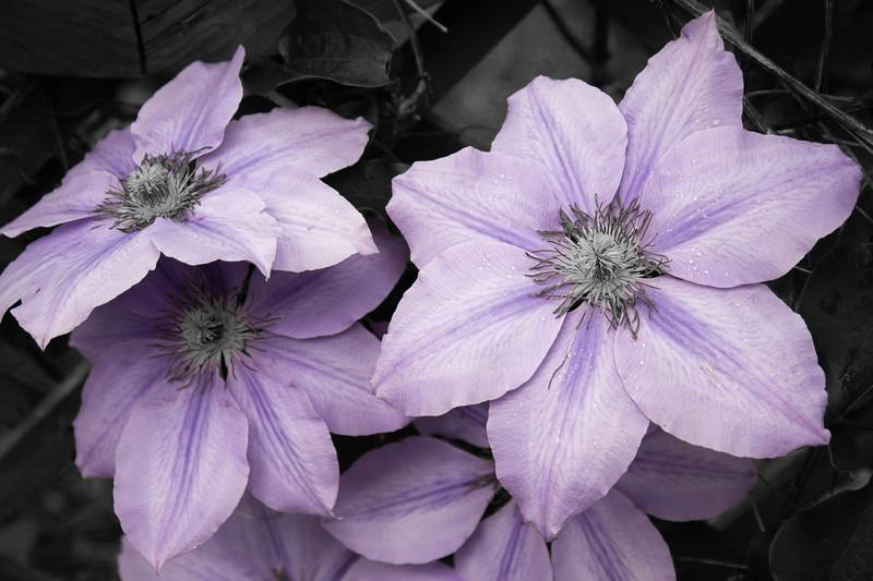 Purple Mountain Blooms