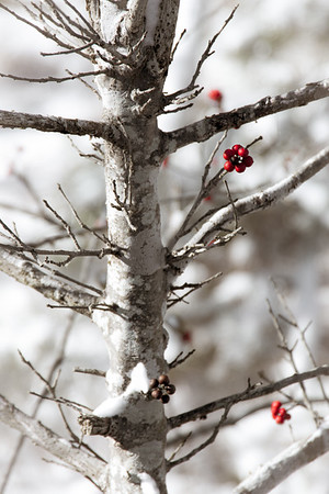 Tree and Red Berries