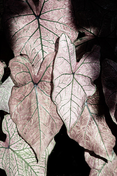 Caladium In Light and Shadow