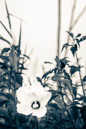 Marsh Rose