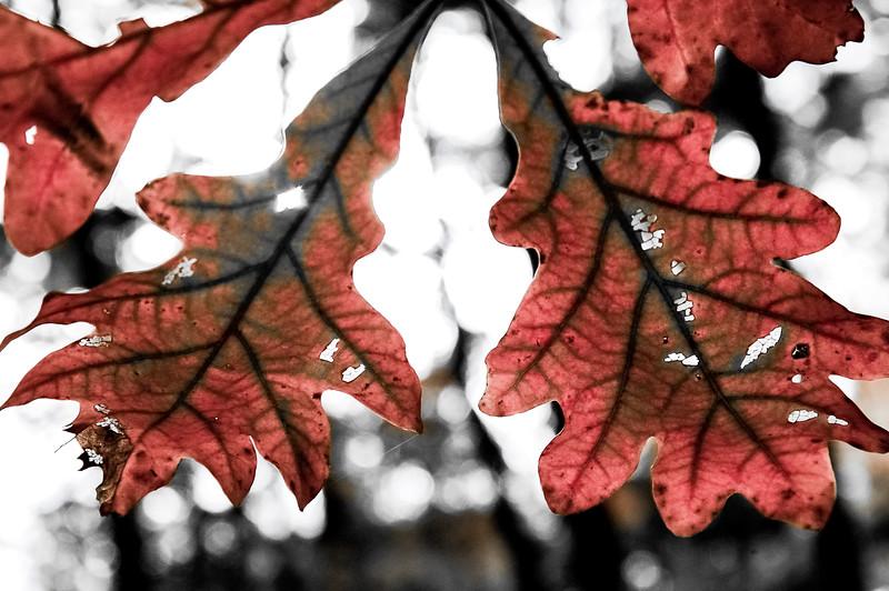 Oak Leaves Aglow