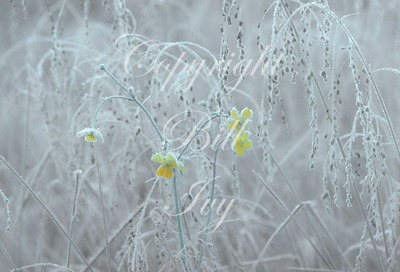 Frost-covered Buttercups