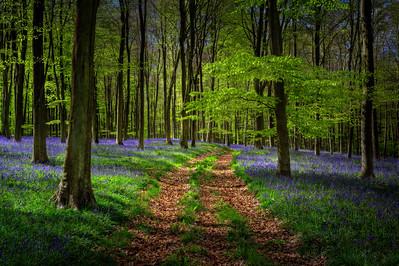 Embley Wood Bluebells, Hampshire
