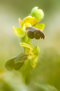 Ophrys dyris