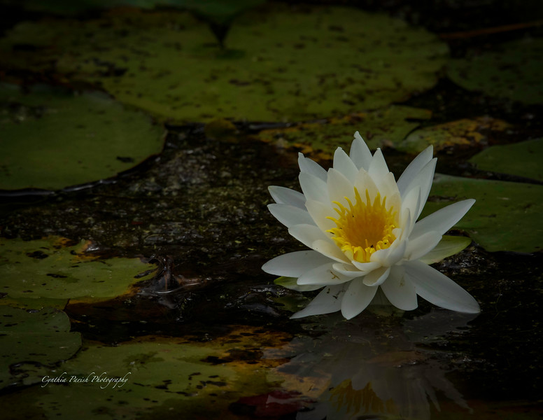 Lotus Bloom - Lagow Ranch - Chambers County, Texas