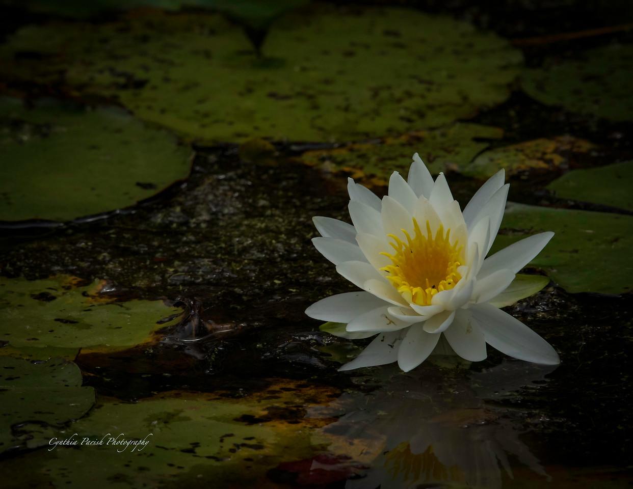 Lotus Bloom - Lagow Ranch - Chambers County, Texas