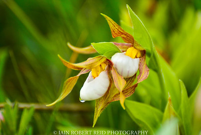 Mountain Lady Slipper