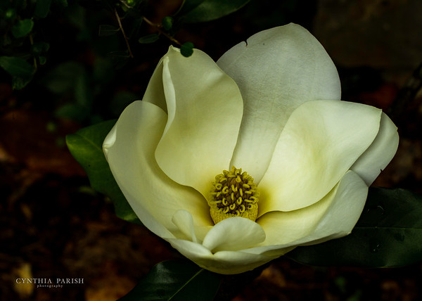 Southern Magnolia, Orange County, Texas