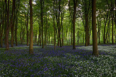 Wildhams Wood Bluebells and Wild Garlic