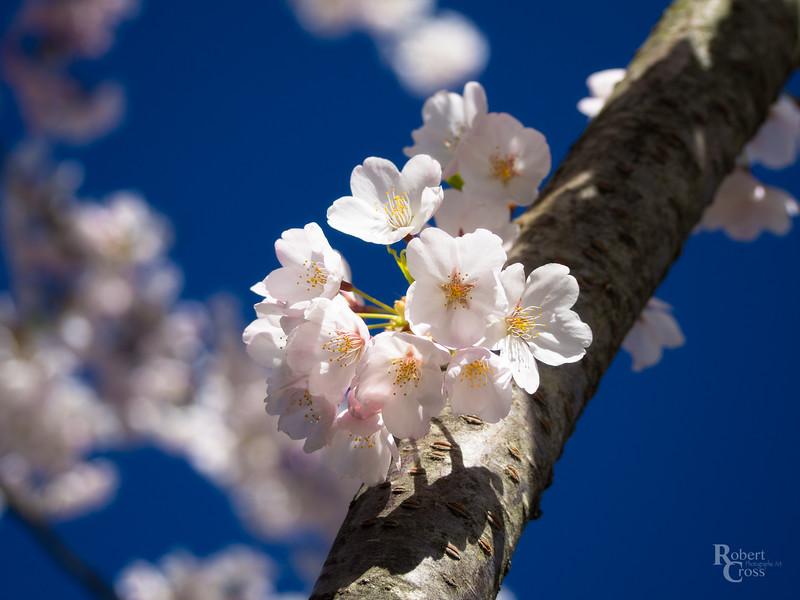 Spring Blossoms in Massachusetts