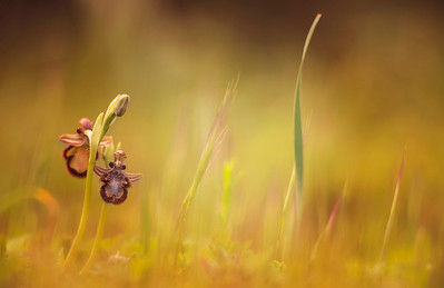 Ophrys speculum.