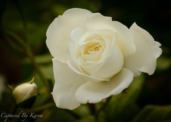Ange's Rose