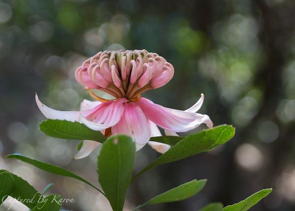 Pink Waratah