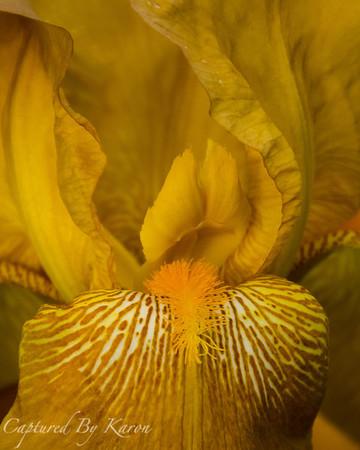 Sensuous Iris