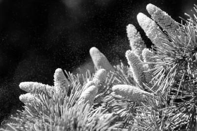 Dancing Pollen