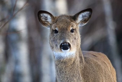Whitetail Gaze