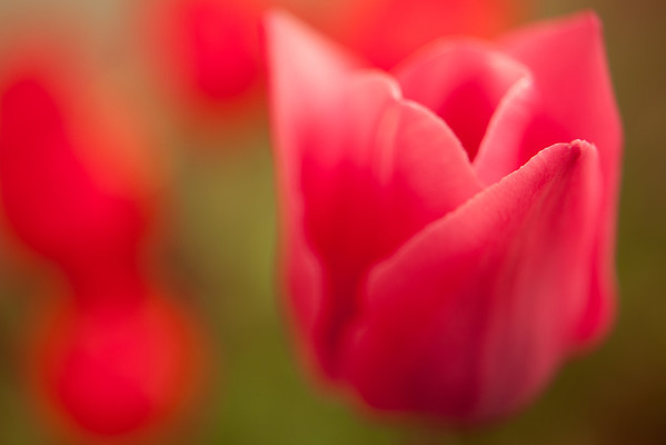 Abstracted Tulips