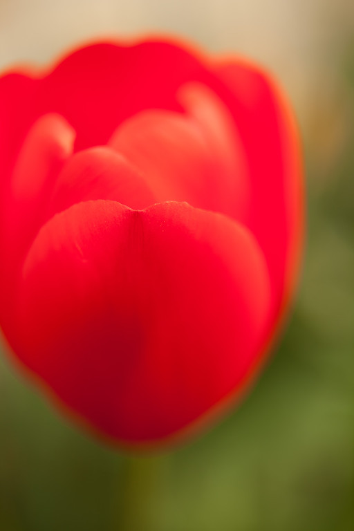 Abstracted Red Tulip