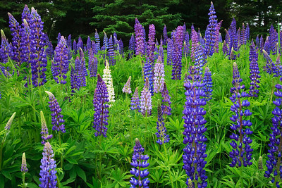 Lavender Lupines