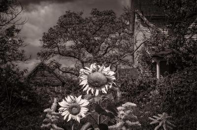 Sunflowers 2 [Damascus, MD]