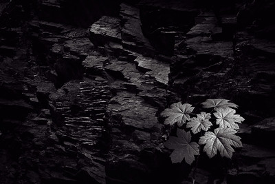 New Growth, Rock Face [Mendenhall Glacier Trail, AK]