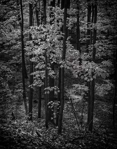 Maple Trees, Autumn [Mt. Airy, NJ]