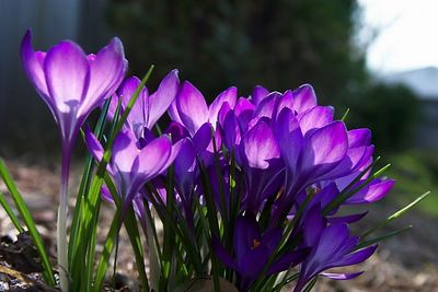 Crocus in backyard - Srping 2004