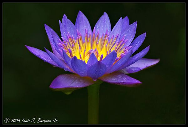 Panama Pacific Water Lily - Featured in Natures Best Magazine