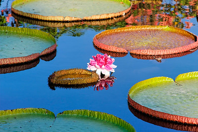 Amazonica Flower