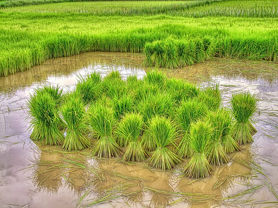 It's Rice Planting Season!