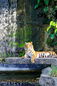 Asian Tiger at Khao Kheow Open Zoo, Chonburi (2)