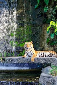 Asian Tiger at Khao Kheow Open Zoo, Chonburi (2)