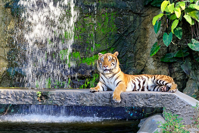 Asian Tiger at Khao Kheow Open Zoo, Chonburi (1)