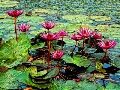 Lillies, Sukhothai