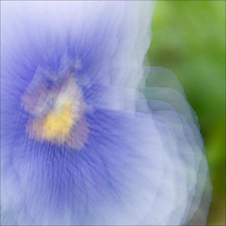 Blue Pansey (multiple exposure)