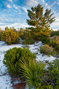 Early morning sunlight on the xeric oak scrub of central Florida's Lake Wales Ridge