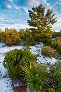 Early morning sunlight on the xeric oak scrub of central Florida's Lake Wales Ridge