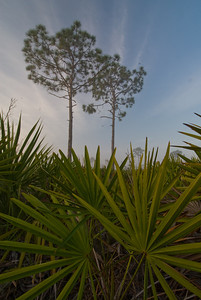 Dawn in scrubby flatwoods at Archbold Biological Station in Lake Placid, FL