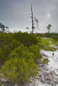 Rosemary scrub on a foggy morning at Archbold Biological Station, lake Placid, FL