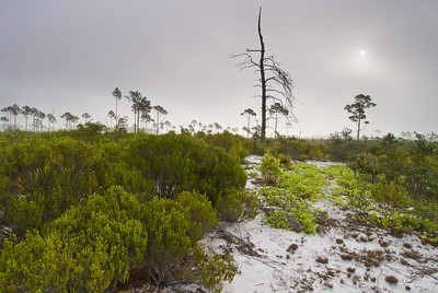 Foggy dawn in rosemary scrub at Archbold Biological Station, Lake Placid, FL
