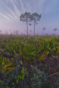 Dawn in scrubby flatwoods at Archbold Biological Station, Lake Placid FL