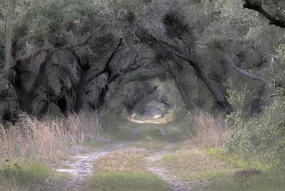 Oak-lined road in Hickory Hammock Wildlife Management Area outside of Sebring, FL