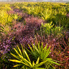Fall-blooming Agalina in palmetto flatwoods on a foggy morning in the Lake Wales Ridge, Florida.